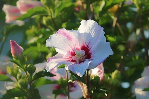 Flower, Petals, Hibiscus, Leaves, Hibiscus Syriacus