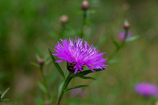 Flower, Cornflower, Nature, Blossom, Bloom, Wild