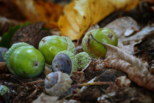 Acorns, Forest, Leaves, Autumn, Nature, Fruit, Oak