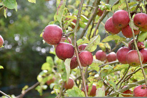 Apples, Apple Tree, Fruit, Fruit Tree, Red Apples