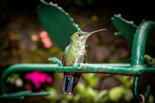 Hummingbird, Bird, Animal, Green-crowned Brilliant