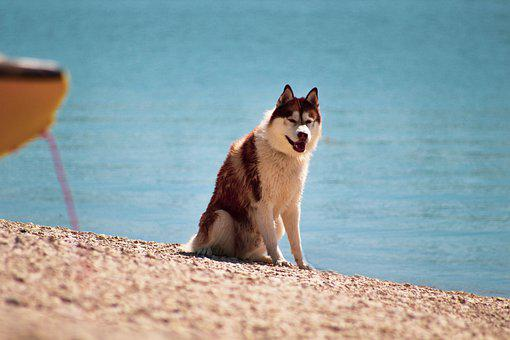 Husky, Chocolate Husky, Dog, Canine, Pet, Beach, Sand