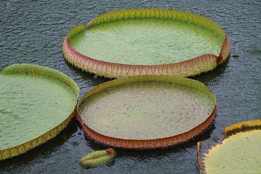 Leaves, Water Lily, Lily Pads, Nature, Large, Water