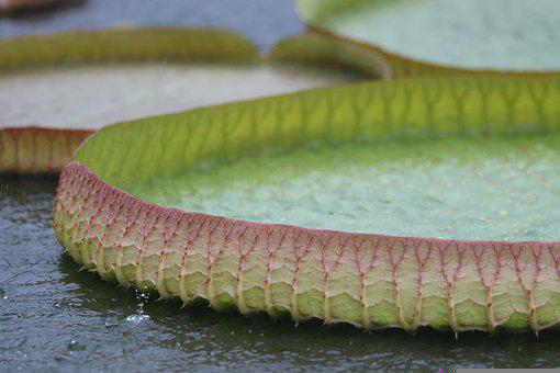 Leaves, Water Lily, Plant, Nature, Water, Pond