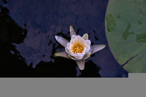 Water Lily, Dark Water, Water, Pond, Lily Pads, Lotus