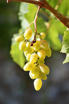 Grapes, Fruit, Bunch, Juicy, Organic, Autumn, Nature