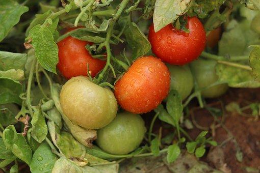 Tomatoes, Produce, Harvest, Organic, Food, Vegetables