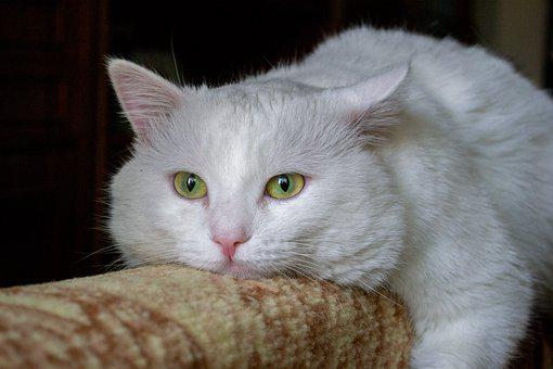 Fluffy White Cat, Cat, Pet, Fluffy Cat, White Cat
