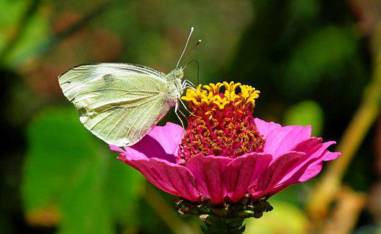 Butterfly, Zinnia, Flower, Pink Zinnia, Pink Flower