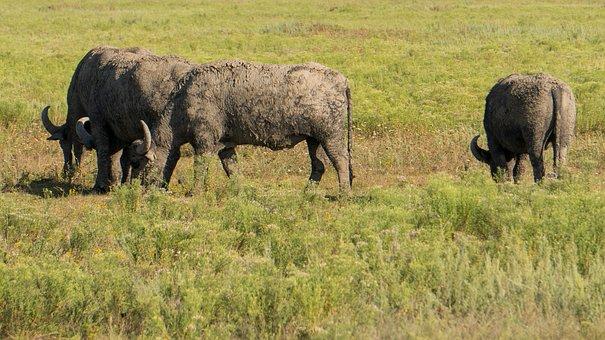 Cattle, Herd, Horns, Buffaloes, Plains, Tourism, Sheer