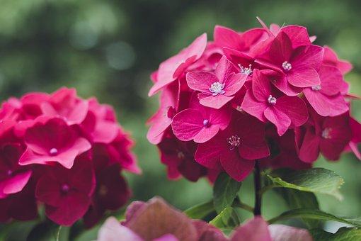 Flower, Hydrangea, Plant, Blossom, Bloom, Nature