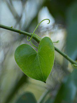 Leaf, Plant, Shape, Heart, Texture, Nature, Hibiscus