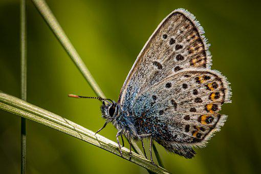 Butterfly, Insect, Common Blue, Polyommatus Icarus