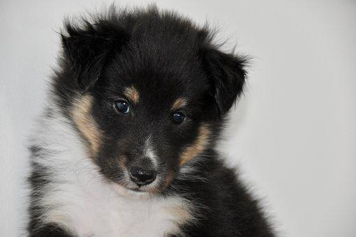 Sheltie, Dog, Puppy, Pup, Shetland Sheepdog