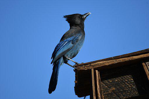 Steller's Jay, Wild Bird, Bird, Nature, Perched