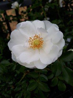 White, Flower, White Flower, White Petals, Spring
