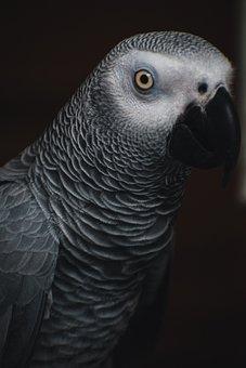 Grey Parrot, African Grey Parrot, Parrot