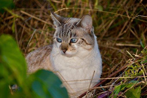 Cat, Feline, Pet, Domestic, Animal, Mammal, Predator