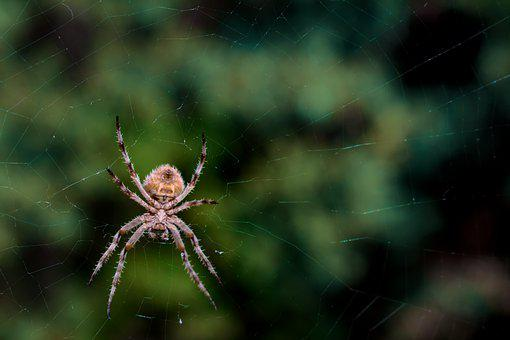 Spider, Arachnid, Spiderweb, Arthropod, Spider's Web