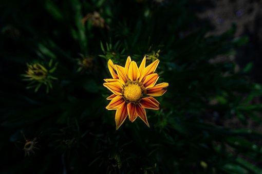 Flower, Gazania, Asteraceae, Plant, Bloom, Blooming