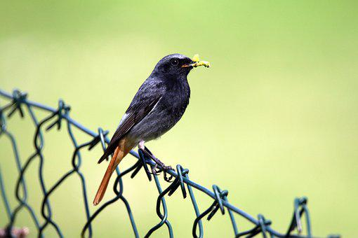 Black Redstart, Bird, Male Black Redstart, Male Bird