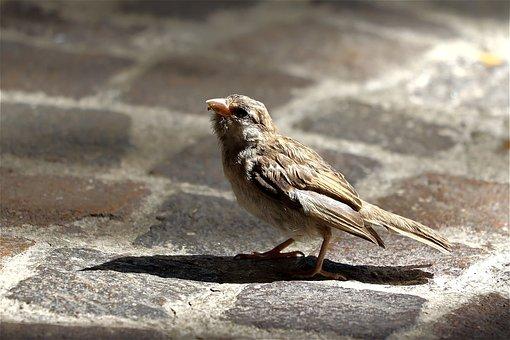 Sparrow, Bird, Chicks, Animal, Bird Flu, Little Bird