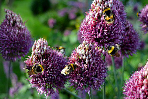 Bumblebees, Insect, Chives Blossom, Flowers