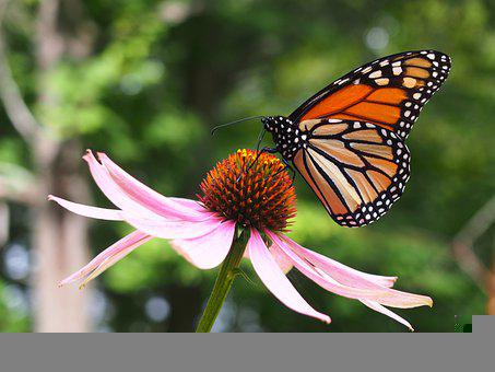 Butterfly, Coneflower, Flower, Insect