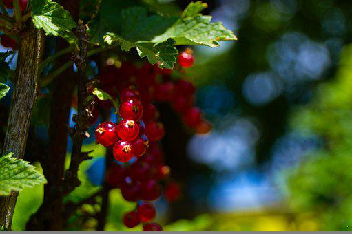 Currants, Fruits, Red Fruits, Food, Garden, Produce