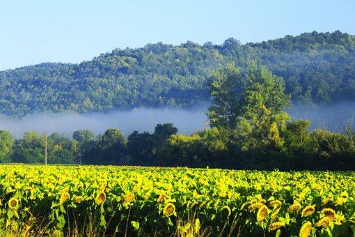 Sunflowers, Field, Field Of Sunflowers, Fog, Yellow