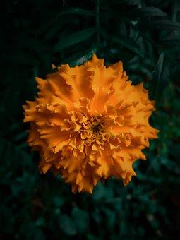 Flower, Marigold, Petals, Flora, Floral, Flowering