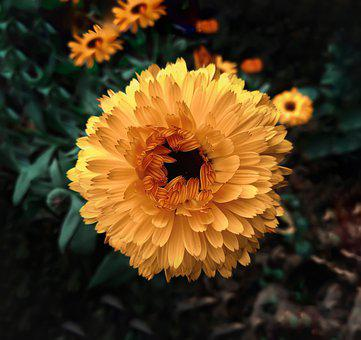 Yellow Flowers, Flower, Yellow Petals, Pot Marigold