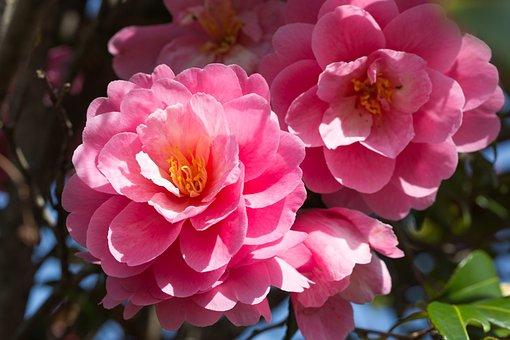 Flowers, Petals, Camellia, Leaves, Foliage, Garden