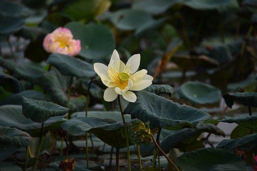 Flower, Lotus, Petals, Leaves, Foliage, Lake, Pond
