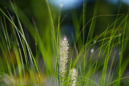 Grass, Meadow, Field, Plants, Reeds, Flora, Botany