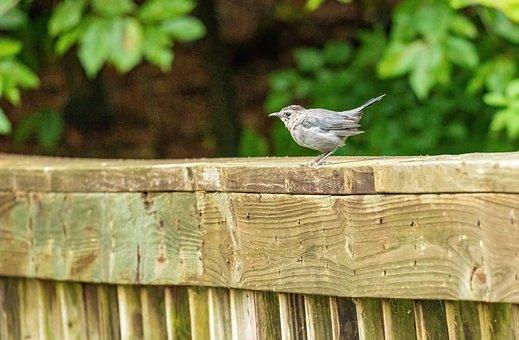 Gray Catbird, Catbird, Perched, Bird, Wildlife