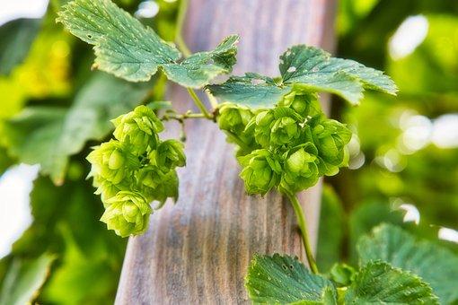 Hops, Flowers, Hop Umbels, Seed Cones, Strobiles, Plant
