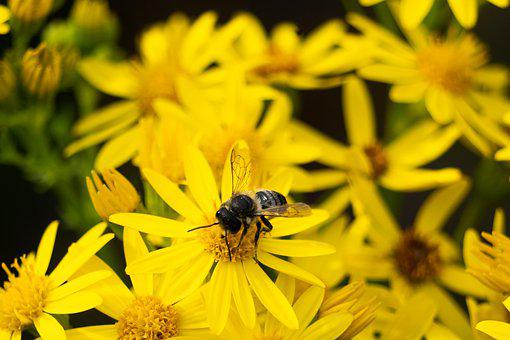 Mining Bee, Bee, Flower, Yellow Flower, Insect