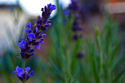 Lavender, Purple Flowers, Inflorescence, Nature