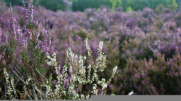 Flowers, Meadow, Heather, Shrubs, Branches, Nature