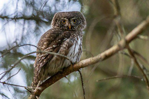 Eurasian Pygmy Owl, Owl, Bird, Animal, Small Owl, Avian