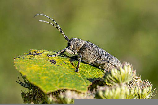 Beetle, Insect, Large Poplar Borer, Pest