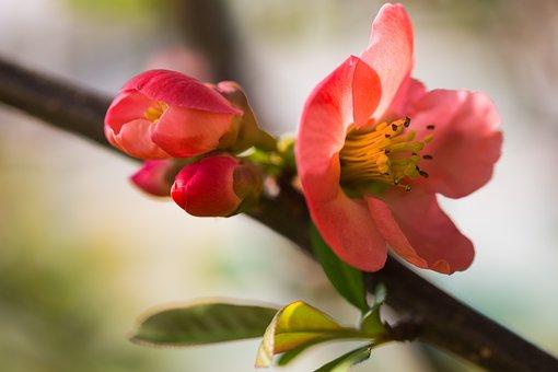 Plum, Flower, Petals, Buds, Stem, Leaves, Branch, Tree