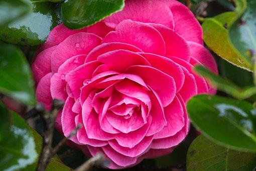 Camellia, Pink Camellia, Pink Flower, Flower, Plant