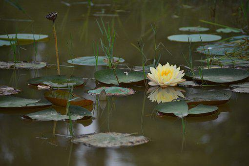 Water Lily, Flower, Plant, Aquatic Plant, Lily Pads