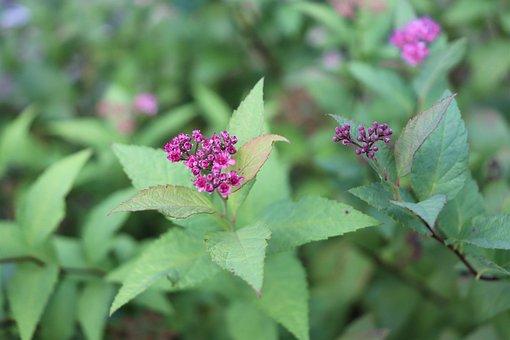 Spiraea, Meadowsweet, Bush, Flowers, Plant, Bloom