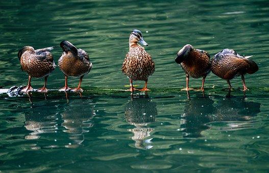 Ducks, Birds, Water Birds, Water, Feathers, Plumage