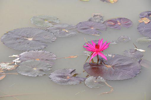 Water Lily, Flower, Petals, Leaves, Lagoon, Pond, Lake