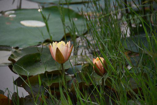 Lotus, Flower, Lagoon, Pond, Lake, Bloom, Beautiful