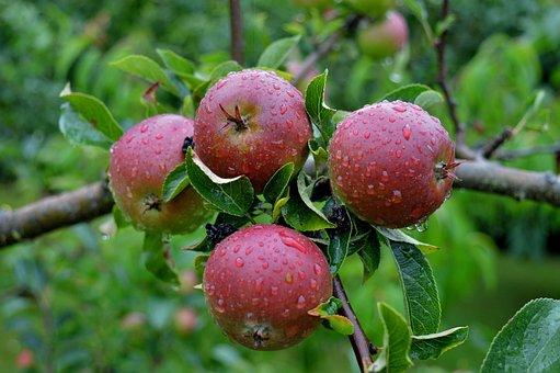 Apple, Apple Tree, Fruit, Branch, Red Apple, Red Fruit